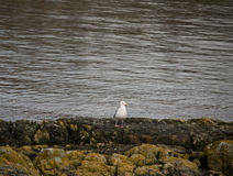 Kittiwake Seagull on Rocky Shore Royalty Free Stock Photo