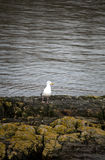 Kittiwake Seagull on Rocky Shore Stock Photo