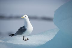 Kittiwake standing on ice looking towards camera Stock Photos
