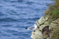 Kittiwake Standing on Rocky Cliff Edge. View of kittiwake standing on cliff edge with sea behind, Northumberland coast, England stock photos