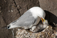 Kittiwake. With two chicks on a nest at the cliff stock photography
