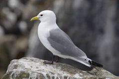 Kittiwake100 Stock Photos