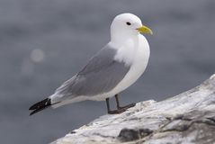 Kittiwake185 Stockbild
