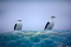 Kittiwakes сидя na górze льда шнурка Стоковые Изображения RF