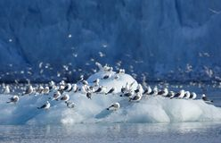 Kittiwakes Stock Photography