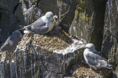 Kittiwakes and chicks at Cape St. Mary`s