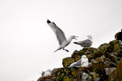 Kittiwakes On Cliff Edge Stock Photo