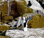 Kittiwakes displaying Royalty Free Stock Photo