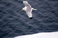 Kittiwakes are one of few bird species that fly to North pole. Kittiwakes (Rissa tridactyla) are one of the few bird species that fly to the North pole in summer Royalty Free Stock Photos