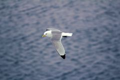Kittiwakes are one of few bird species that fly to North pole. Kittiwakes (Rissa tridactyla) are one of the few bird species that fly to the North pole in summer Stock Image