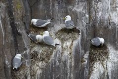 Kittiwakes134 Royalty Free Stock Images