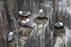 Kittiwakes134. Kittiwakes, Larus tridactyla, nesting on sea cliffs, Farne Islands, late May, UK Royalty Free Stock Images