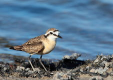 Kittlitz's Plover Royalty Free Stock Photography