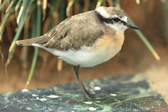 Kittlitz's plover Stock Photography