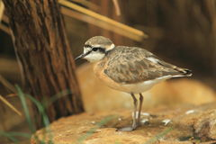 Kittlitz's plover Royalty Free Stock Photo
