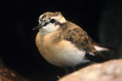 Kittlitz's plover Stock Photo