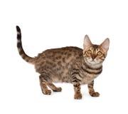 Kittten Royalty Free Stock Images