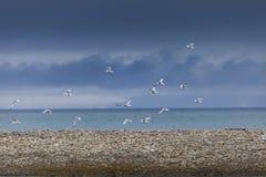 Kittwake fåglar som dyker i Svalbard royaltyfri bild