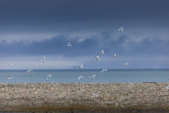 Kittwakevogels die in Svalbard duiken royalty-vrije stock afbeelding