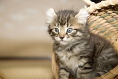Kitty Royalty Free Stock Photography