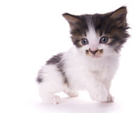 Kitty Royalty Free Stock Photos