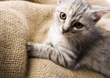 kitty fotografia royalty free