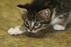 kitty Zdjęcie Stock