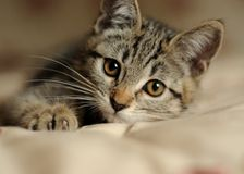 Kitty. Kitten laying down on bed Royalty Free Stock Photography