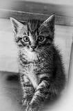 Kitty B&W 2 Royalty Free Stock Image