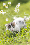 Kitty is on the background field of daisies Stock Image