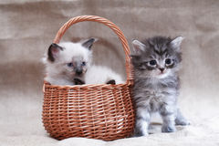 Kitty In Basket Stock Image