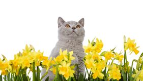 Kitty behind yellow flowers. Grey cat with yellow flowers, isolated on a white background Stock Photos