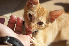 Kitty bitting finger Royalty Free Stock Photos