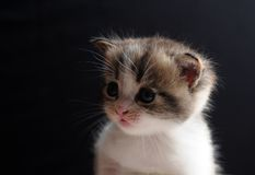 Kitty before black background. Cute kitty baby cat in front of black background Royalty Free Stock Photography