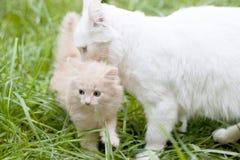 Kitty camina con la mamá en el césped Imagenes de archivo