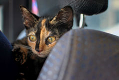 Kitty in car seat Stock Photography