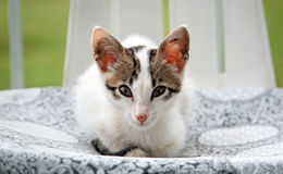 Kitty Cat Royalty Free Stock Images