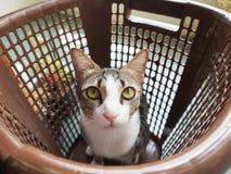 Kitty Cat che mi esamina per l'alimento fotografia stock