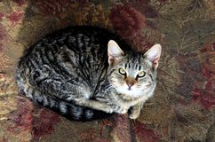 Kitty cat is happy and looking at me. Kitty cat is curious. She is laying on a contrasting rug stock photo