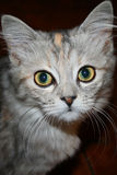 Kitty cat looking at the camera Royalty Free Stock Image