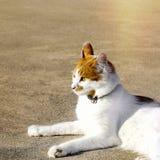 Kitty Cat Lying Down isolerat arkivbild