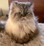 Kitty. Cat Persian Himalayan hairy Stock Photos