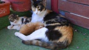 Kitty Cat Pet Mammal Animal adorável doce filme