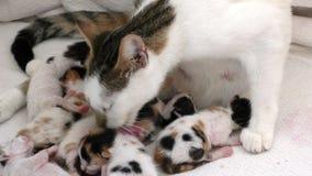 Kitty Cat Pet Mammal Animal adorável doce video estoque