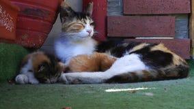 Kitty Cat Pet Mammal Animal adorable dulce almacen de metraje de vídeo