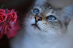 Kitty cat and pink roses. Cute little kitty cat with blue eyes posing sweetly next to a cluster of pink roses in the garden stock photo