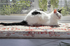 Kitty Cat Relaxing in a Sunny Window. Beautiful female adult cat on a rug in front of a sliding patio door window. On a sunny day a white and black cat lounges stock photography