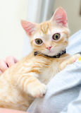 Kitty Cat Seymore Beanie Boo observada grande Fotografía de archivo libre de regalías