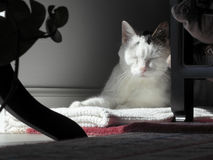 Kitty Cat Sleeping in a Quiet Corner. Female adult cat with eyes closed sleeping in a shady corner with front sunlight. Mostly white mature feline resting in a Stock Photo
