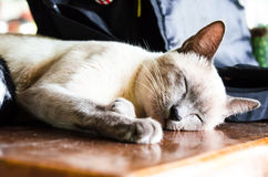 The Little Pussy Cat Sleeping On The Wood Table. Stock Photography